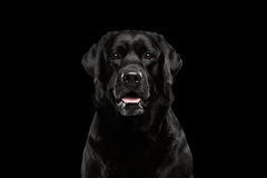 Closeup Portrait black Labrador Dog, Alert Looking, Front view, Isolated. Closeup Portrait of Labrador Dog, Alert Looking in Camera, Front view, Isolated on royalty free stock images