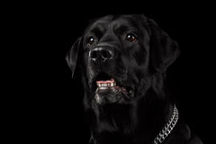 Closeup Portrait black Labrador Dog, Alert Looking, Front view,  Isolated Stock Images