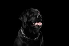 Closeup Portrait black Labrador Dog, Happy Smiling, Front view,  Isolated Stock Photo