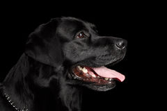 Closeup Portrait black Labrador Dog, Kind Looking, Profile view,  Isolated Royalty Free Stock Photos