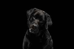 Closeup Portrait black Labrador Dog, Questioning Looking, Front view,  Isolated Stock Photo