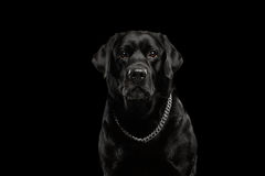 Closeup Portrait black Labrador Dog, Serious Looking, Front view, Isolated royalty free stock photos