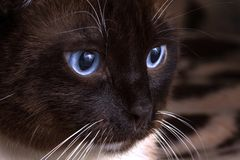 Closeup portrait blue eyes brown snowshoe cat sitting on a blanket royalty free stock images