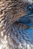 Closeup portrait Blue footed booby in the Stock Image