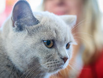 Closeup Portrait of British  cat Royalty Free Stock Photo