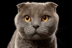 Closeup Portrait of British Fold Cat on Black Stock Photos