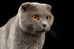 Closeup Portrait of British Fold Cat on Black Royalty Free Stock Photography