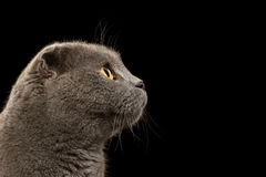 Closeup Portrait British Fold Cat in Profile on Black Royalty Free Stock Image