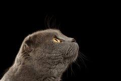 Closeup Portrait British Fold Cat in Profile on Black Stock Photos
