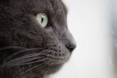 Closeup portrait of british shorthair cat Stock Images