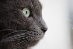 Closeup portrait of british shorthair cat Stock Images
