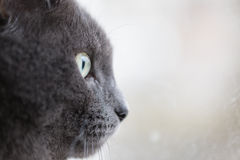 Closeup portrait of british shorthair cat Royalty Free Stock Photos