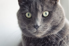 Closeup portrait of british shorthair cat Stock Photo