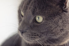 Closeup portrait of british shorthair cat Royalty Free Stock Photo