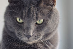 Closeup portrait of british shorthair cat royalty free stock photography