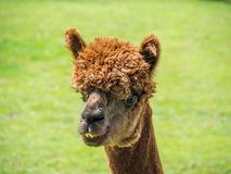 Closeup portrait of brown alpaca Royalty Free Stock Photography