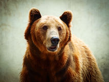 Closeup portrait of a brown bear looking at the camera Royalty Free Stock Photos