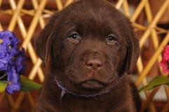 Closeup portrait of brown labrador puppy Royalty Free Stock Image