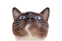 Closeup portrait brown snowshoe Siamese cat siting and looking up. Isolated on white royalty free stock photography