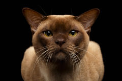 Closeup Portrait Burma Cat with Gaze Looking in Camera on Black Royalty Free Stock Images