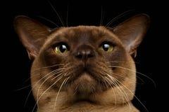 Closeup Portrait Burma Cat with Gaze Looking in Camera on Black Stock Image