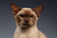 Closeup portrait of Burma Cat on Gray Royalty Free Stock Image