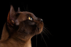 Closeup Portrait Burmese Cat in Profile view Isolated on black Royalty Free Stock Photo