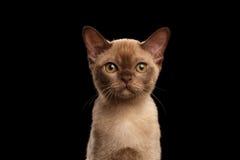 Closeup portrait of Burmese kitten beige fur on Isolated black Stock Photo