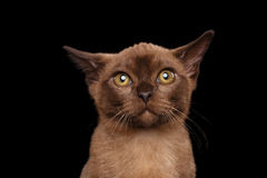 Closeup Portrait of Burmese kitten Curious Looking in Camera Isolated Royalty Free Stock Images