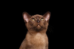 Closeup Portrait of Burmese kitten Curious Looking up Isolated black Royalty Free Stock Photography
