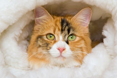 Closeup portrait of Calico cat in fur bed Royalty Free Stock Photo