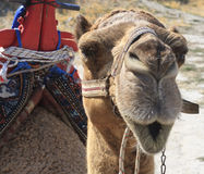 Closeup portrait of a Camel Stock Photography