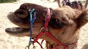 Closeup portrait of a camel Stock Images