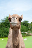 Closeup portrait of camel Royalty Free Stock Images