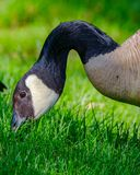 Closeup portrait of a Canada Goose eating green grass Stock Images