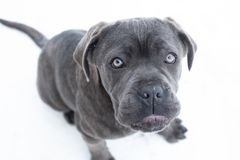 Closeup portrait of cane corso puppy six month royalty free stock images