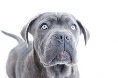 Closeup portrait of cane corso puppy six month stock photos