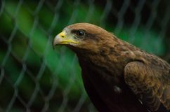 Closeup portrait of captured or rescued African Wahlbergs Eagle, Africa. Closeup portrait of captured or rescued African Wahlbergs Eagle, Nigeria, Africa Royalty Free Stock Photos