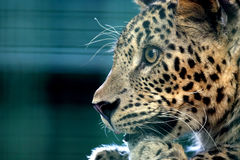 Closeup portrait carefully looking into the distance leopard Stock Photos