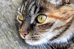 Closeup portrait of cat  Royalty Free Stock Photo