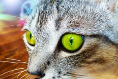 Closeup portrait of a cat with bright green eyes.  stock image