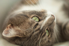 Closeup portrait of a cat laying on its back Royalty Free Stock Photos