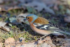 Closeup portrait of a chaffinch Royalty Free Stock Images