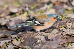 Chaffinch close up Royalty Free Stock Image