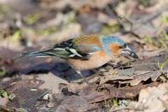 Chaffinch eating sunflower seeds Stock Images