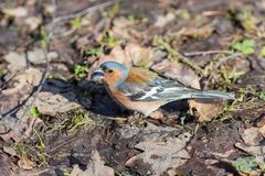Chaffinch with a seed in its beak Stock Photo