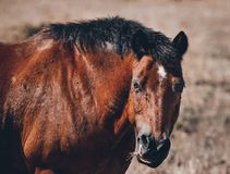Chestnut pony bothered by flies. Closeup portrait of a chestnut brown colored pony bothered with flies around its face and eyes blurred background stock image