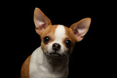 Closeup Portrait of Chihuahua Dog on black. Background Stock Photos
