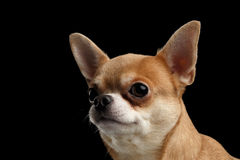 Closeup Portrait of Chihuahua dog Looking outside isolated  on Black Royalty Free Stock Images