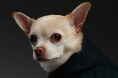 Closeup Portrait Chihuahua dog in stylish clothes. Blue background Stock Photos